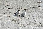 Florida seagulls beach Longboat Key.jpg