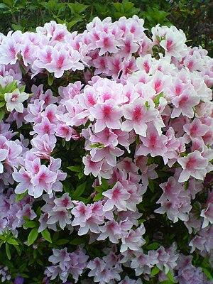 flower, spring, Japan.