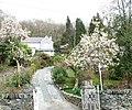Flowering Magnolias at Eryri Wen - geograph.org.uk - 394505.jpg