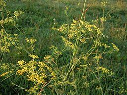 fenouil commun dans un champ de bretagne
