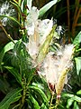 Folículos de Asclepias curassavica liberando semillas.jpg