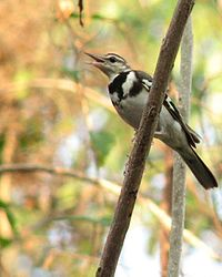 Forest-wagtail.jpg