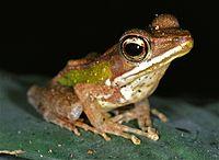 Forest White-lipped Frog (Hylarana albolabris) (7651260858).jpg