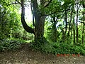 Forested area surrounding Ashford Castle - panoramio.jpg