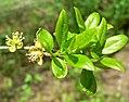 Forestiera pubescens 2.jpg