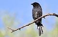 Fork-tailed Drongo, Dicrurus adsimilis, at Marakele National Park, Limpopo, South Africa (16222726018).jpg