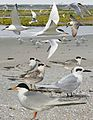 Forster's Tern from the Crossley ID Guide Britain and Ireland.jpg