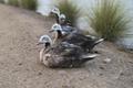 Four ducks sitting by the Al Qudra Lake.png