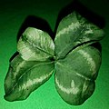 Four leaf clover on a piece of green paper.jpg
