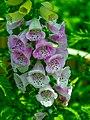 Foxglove (Digitalis Purpurea) -Yüksük Otu - TR- (27421854125).jpg