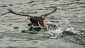 Frailecillo coletudo (Fratercula cirrhata), Bahía de la Resurección, Seward, Alaska, Estados Unidos, 2017-08-21, DD 35.jpg