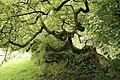 Fraxinus excelsior 'Aurea pendula'.jpg