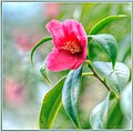 Fresh Winter Camellia (138687477).jpeg