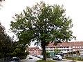 Friedenstrasse Kiel Doppeleiche.jpg