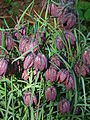 Fritillaria meleagris01.JPG