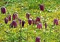 Fritillaria meleagris - Snake's Head Fritillary - Flickr - gailhampshire.jpg