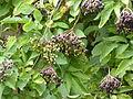 Fruits plante arbustive 9 août 2015.JPG