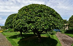 GRIMSTHORPE CASTLE GARDENS MEDLAR TREES SHAPED TO PERFECTION.JPG