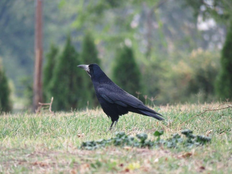 Gačac, ptice u Nišu, Srbija (7)