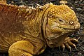 Galápagos land iguana (4228266879).jpg