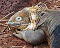 Galapagos Land Iguana (4885199048).jpg