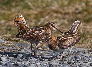 Two Common Snipe standing next to each other