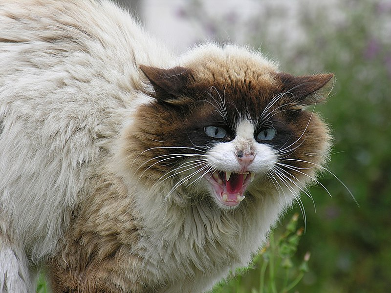 Hissing cat with its fur standing on end