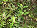 Gaultheria fragrantissima at Mannavan Shola, Anamudi Shola National Park, Kerala (12).jpg
