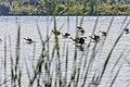 Geese (29264046317).jpg