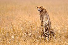A cheetah standing on a rock in the grasslands of the Serengeti