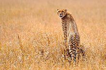 Een cheetah staande op een rots in de graslanden van de Serengeti