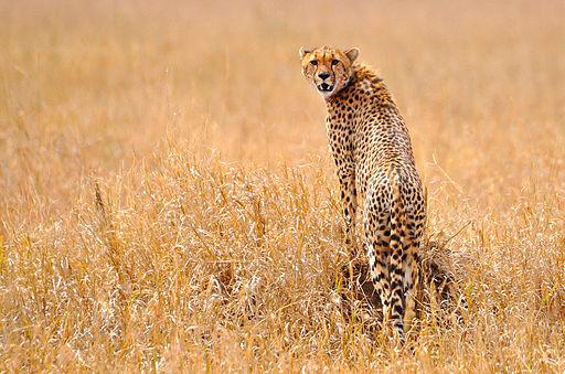 Gepard-Serengeti