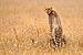 Gepard-Serengeti.jpg