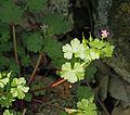 Geranium lucidum 20150405 a.jpg