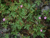 Geranium purpureum 3.jpg