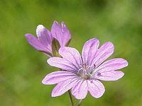 Geranium pyrenaicum1.jpg