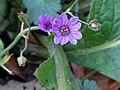 Geranium pyrenaicum 110409369.jpg