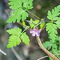 Geranium robertianum in Haute-Savoie (4).jpg