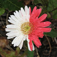 Gerbera wikipedia gerbera with pink and white ray florets mightylinksfo