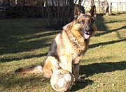 German shepherd football.jpg