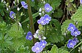 Germander Speedwell - Veronica chamaedrys - geograph.org.uk - 171750.jpg