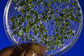 Germination Arabidopsis thaliana - Jean Weber, INRA.jpg