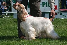 A mostly white-colored dog with long hair and an orange-colored face. A person is holding its head and tail into the correct position for showing at a dog conformation show