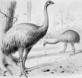 Moa - A restoration of Dinornis robustus and Pachyornis elephantopus, both from the South Island.