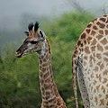 Giraffe (6608143775).jpg