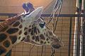 Giraffe at Marwell Wildlife.jpg