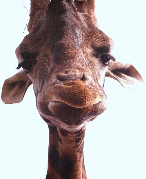 File:Giraffe face.jpg
