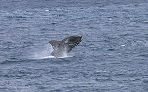Southern right whale - Breaching in the De Hoop Nature Reserve