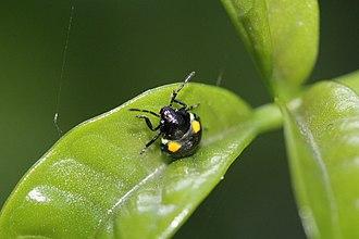 Glaucias amyoti - Glaucias amyoti second instar on a leaf of Three Kings Vine (Tecomanthe speciosa)