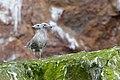 Glaucous Gull chicks on Bear Island, Svalbard, Arctic (20256060456).jpg